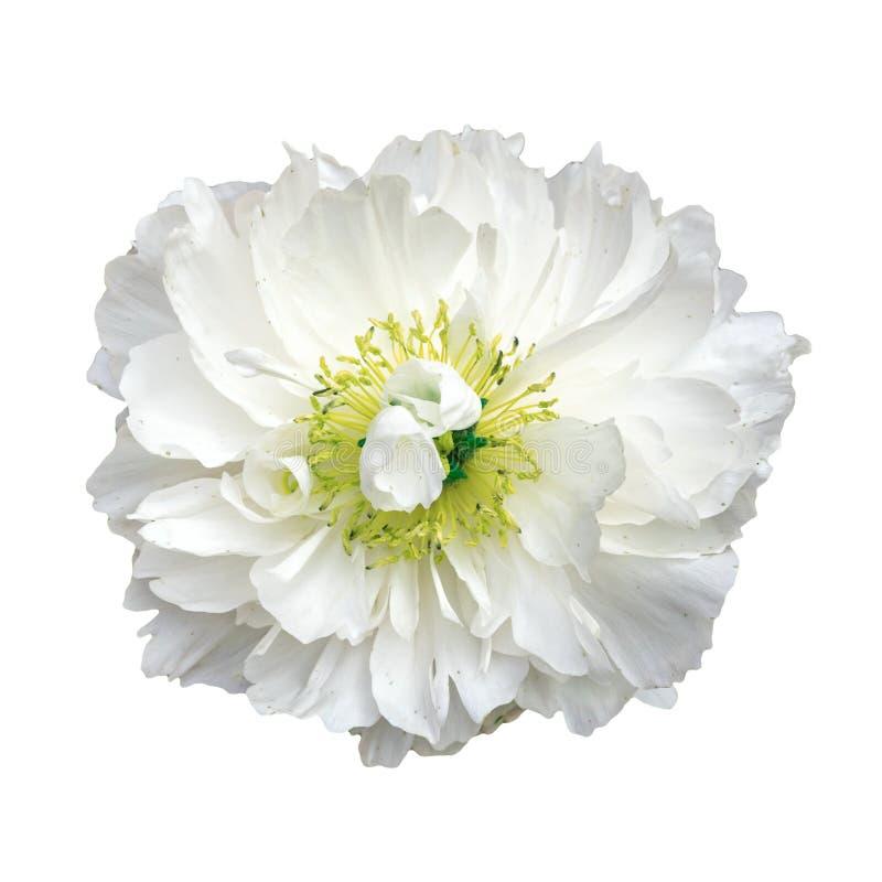 Witte bloem met gele stamens op een witte achtergrond stock afbeeldingen