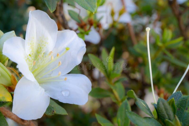 Witte bloem met groen blad of gras met regenwater of dauw stock afbeeldingen