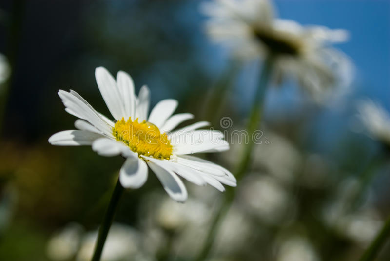Witte bloem met waterdruppeltjes royalty-vrije stock foto