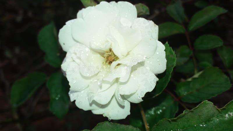 Witte bloem met waterdruppeltjes stock afbeelding