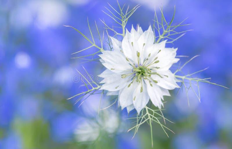 Witte bloem Nigella op een blauwe achtergrond Mooie bloemclose-up stock fotografie