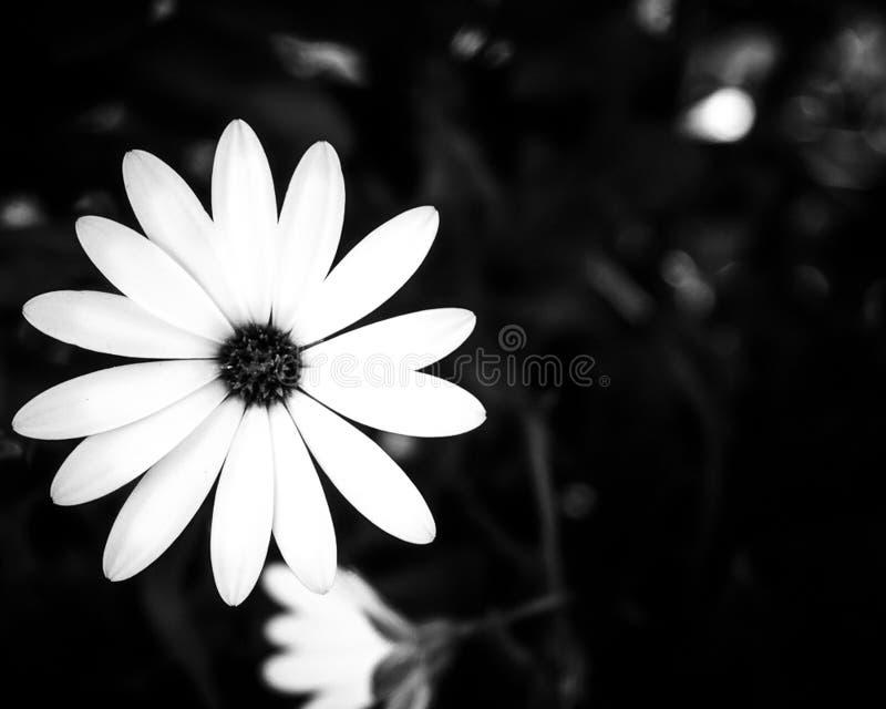 Witte bloem op een zwarte achtergrond stock afbeeldingen