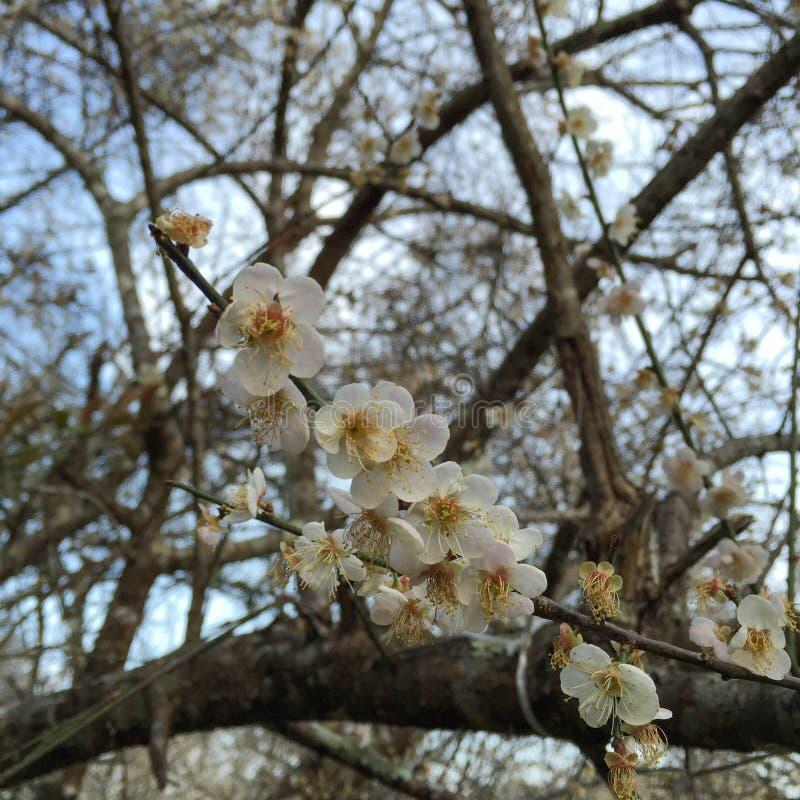 Witte bloem, sakurabloem stock afbeelding