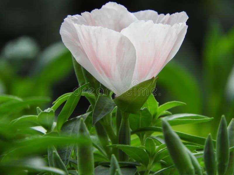 Witte bloem in tuin stock foto