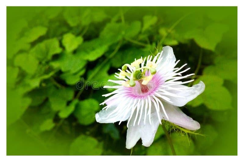 Witte bloem in tuin royalty-vrije stock foto's