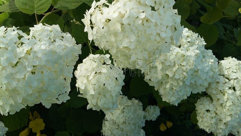 Witte bloem in tuin royalty-vrije stock foto