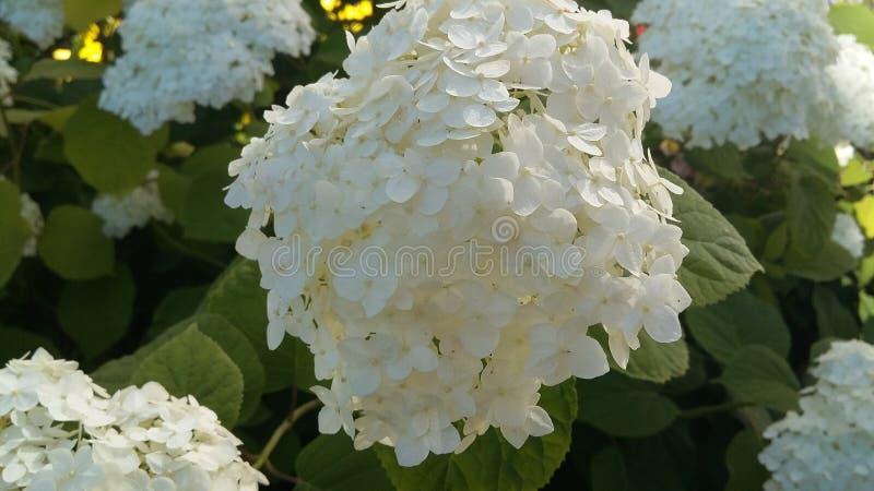 Witte bloem in tuin stock afbeeldingen