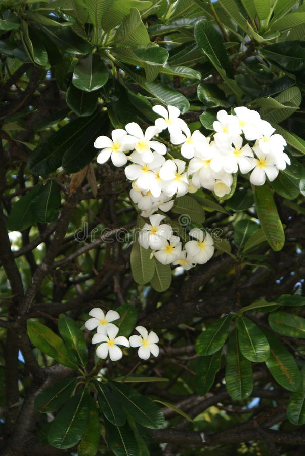Witte bloem van Kona Hawii royalty-vrije stock foto's