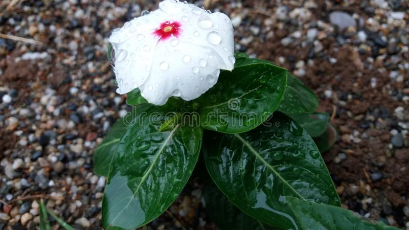 Witte bloem 1x royalty-vrije stock foto