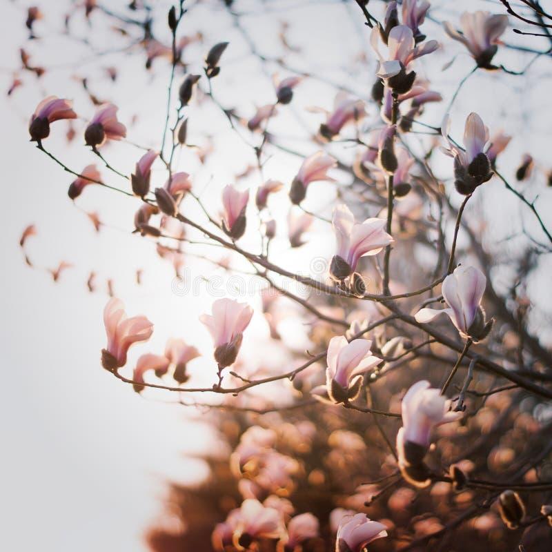 Witte bloem Yulan stock afbeelding