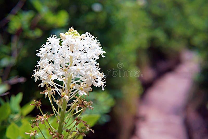 Witte bloembloei langs een bosweg royalty-vrije stock foto's
