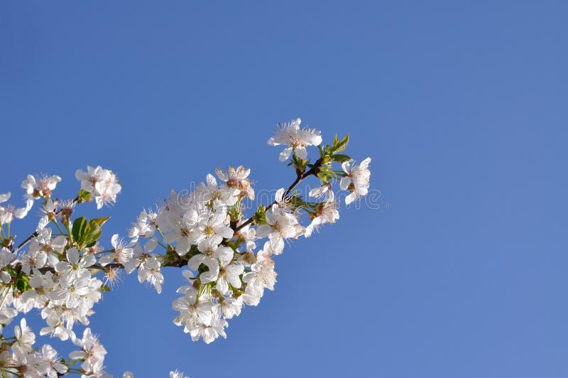 Witte bloemen aan kersen stock afbeeldingen
