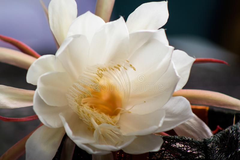 Witte bloemen dat bij slechts nacht bloeit royalty-vrije stock fotografie