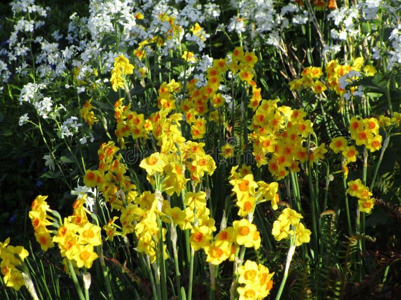 Witte bloemen en gele gele narcissen in een tuin, Canada, 2018 stock afbeeldingen