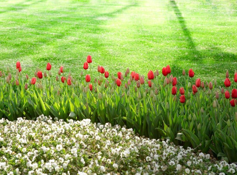 Witte Bloemen en Tulpenachtergrond met groen gras royalty-vrije stock afbeelding