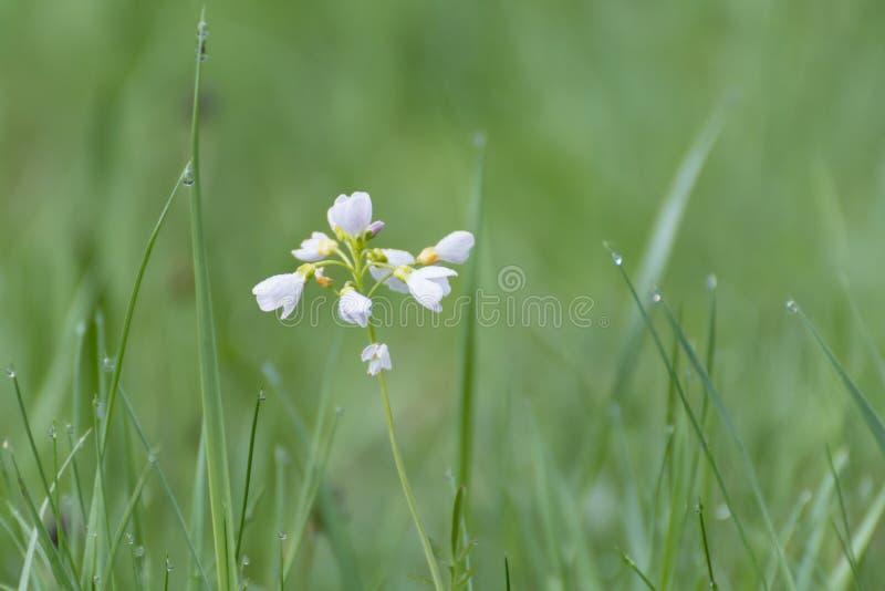Witte bloemen in gras Witte wilde bloem royalty-vrije stock afbeeldingen