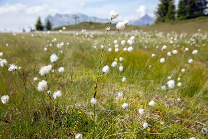 Witte bloemen in hoge bergweiden royalty-vrije stock afbeeldingen