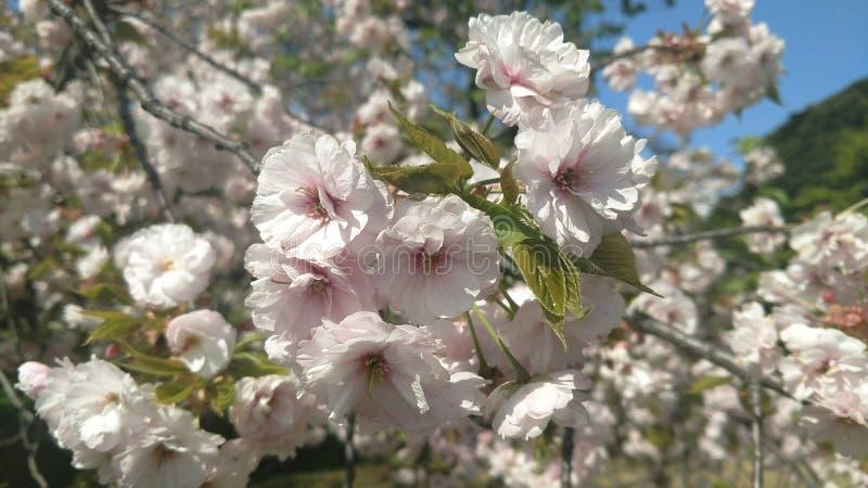 Witte bloemen in Japan stock foto