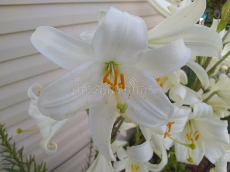 Witte bloemen medio waaier royalty-vrije stock foto