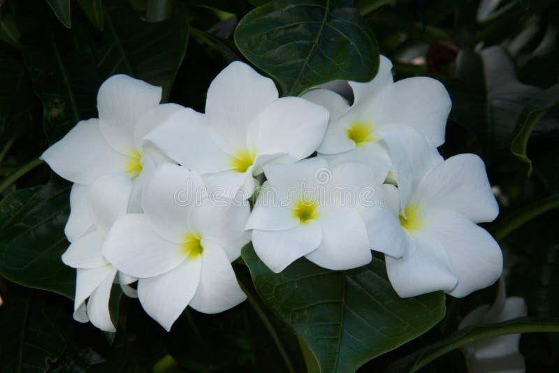 Witte bloemen met geelgroen centrum stock foto's