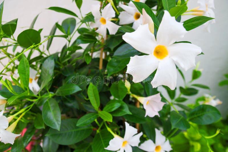 Witte bloemen met groene bladerenachtergrond royalty-vrije stock afbeelding