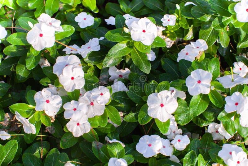Witte bloemen met groene verlofachtergrond stock afbeelding
