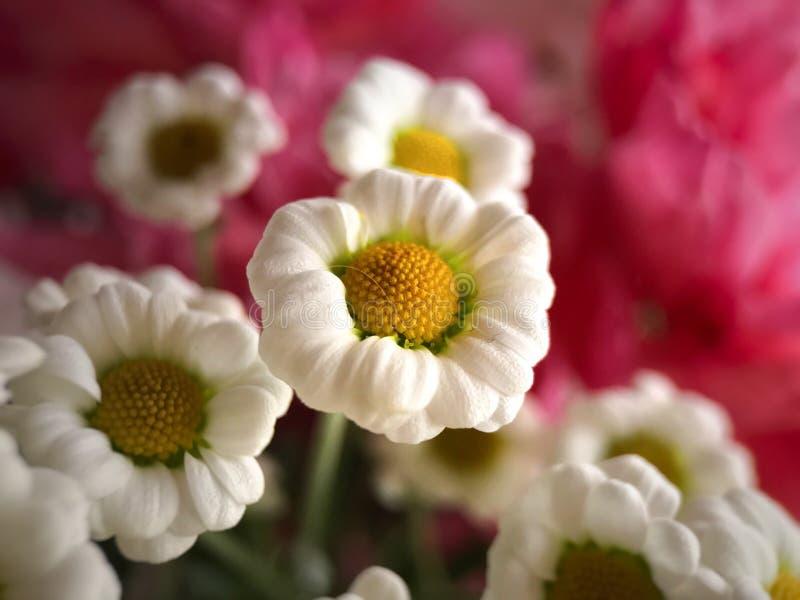 Witte bloemen met roze achtergrond royalty-vrije stock fotografie