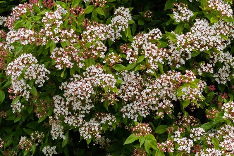 Witte bloemen met roze knoppen die van Viburnum-tinus inTasm tot bloei komen stock afbeelding