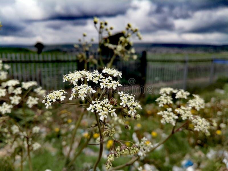 Witte bloemen op bewolkte dag stock fotografie