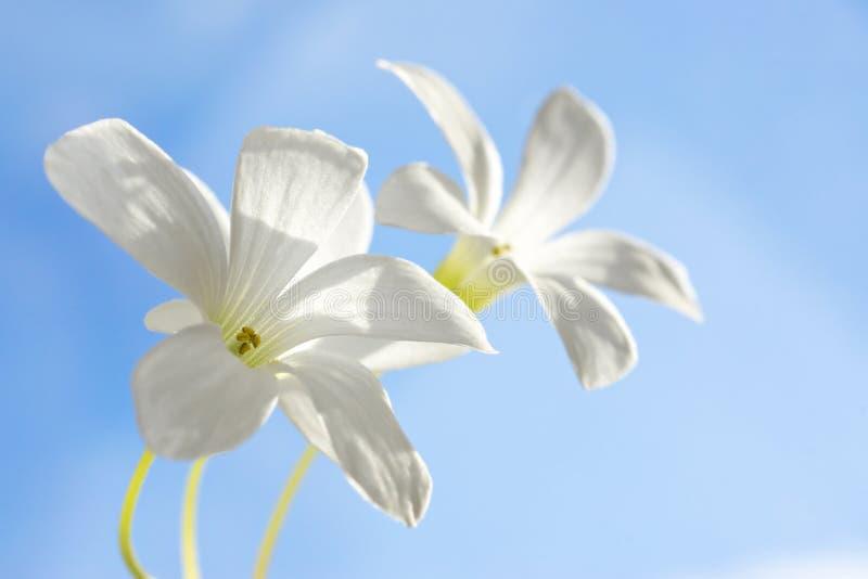 Witte bloemen op blauwe hemel royalty-vrije stock foto's