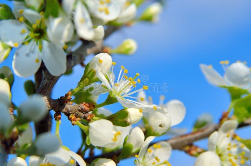 Witte bloemen op de takken van bomen in de lente stock fotografie