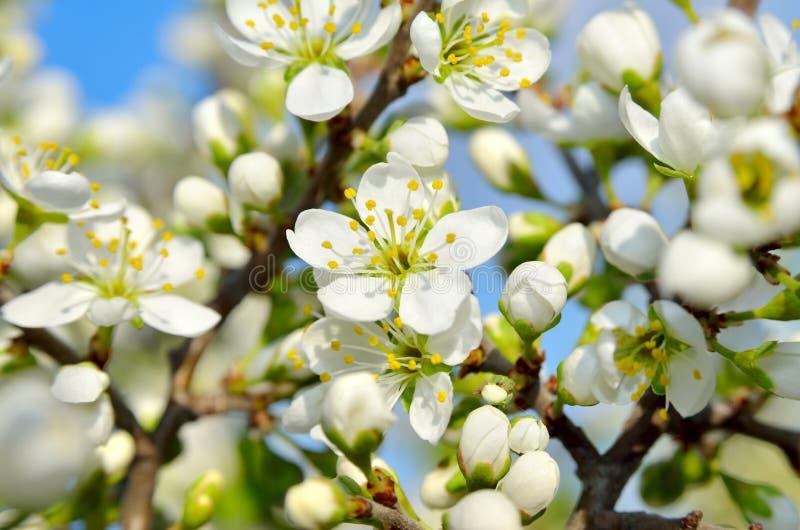 Witte bloemen op de takken van bomen in de lente stock afbeelding