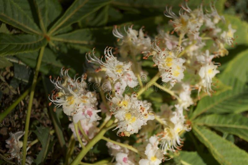 Witte bloemen op een kastanjeboom in de lente stock foto