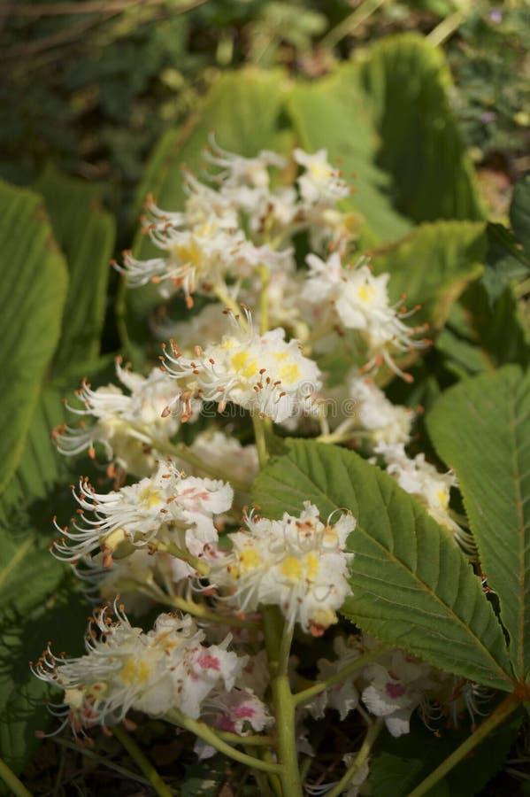 Witte bloemen op een kastanjeboom in de lente royalty-vrije stock foto's