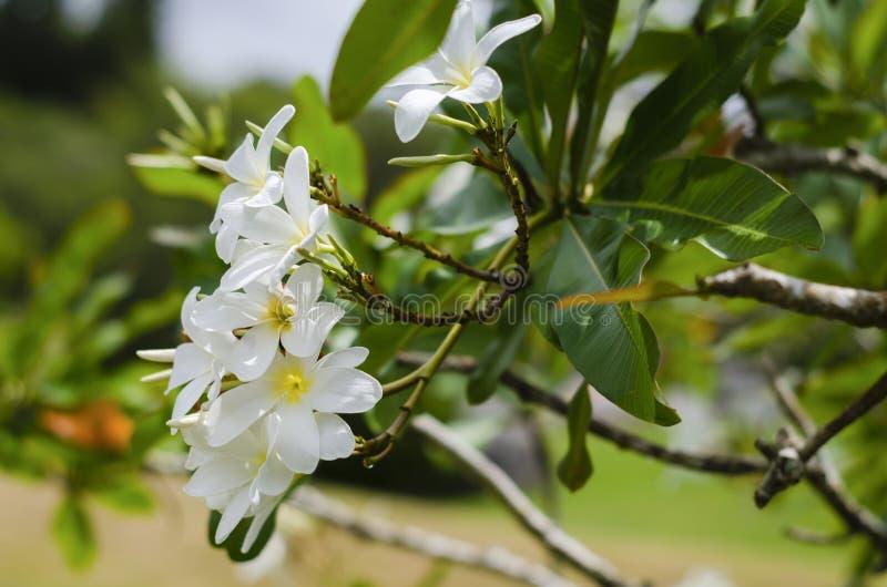 Witte bloemen op een zonnige dag in een Japanse tuin met mooie groen stock foto
