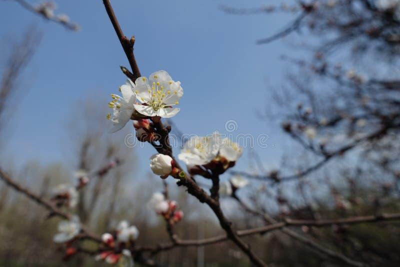 Witte bloemen op tak van abrikoos in de lente stock afbeelding