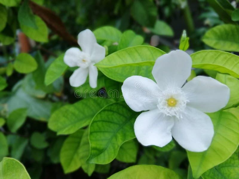 Witte bloemen ter plaatse, groene bladeren, natuurlijke achtergrondafbeeldingen royalty-vrije stock foto