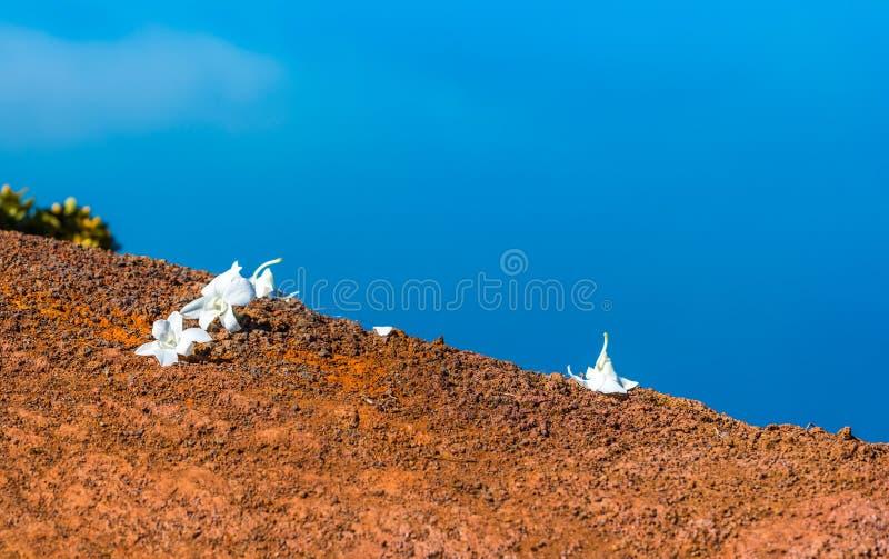 Witte bloemen ter plaatse tegen de blauwe hemel, Kauai, Hawaï, de V.S. Met selectieve nadruk royalty-vrije stock afbeelding