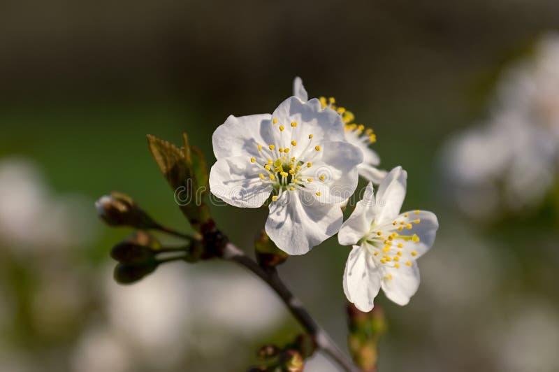 Witte bloemen van appel selectieve nadruk stock fotografie