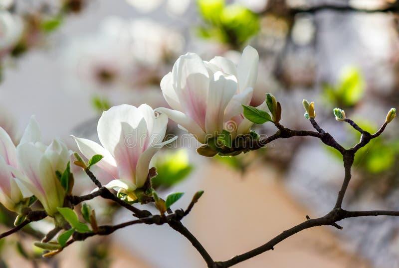 Witte bloemen van de bloesem van de magnoliaboom stock afbeeldingen