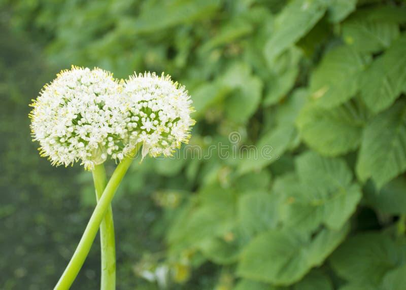 Witte bloemen van groene uien uibloei in de tuin Zaden royalty-vrije stock fotografie