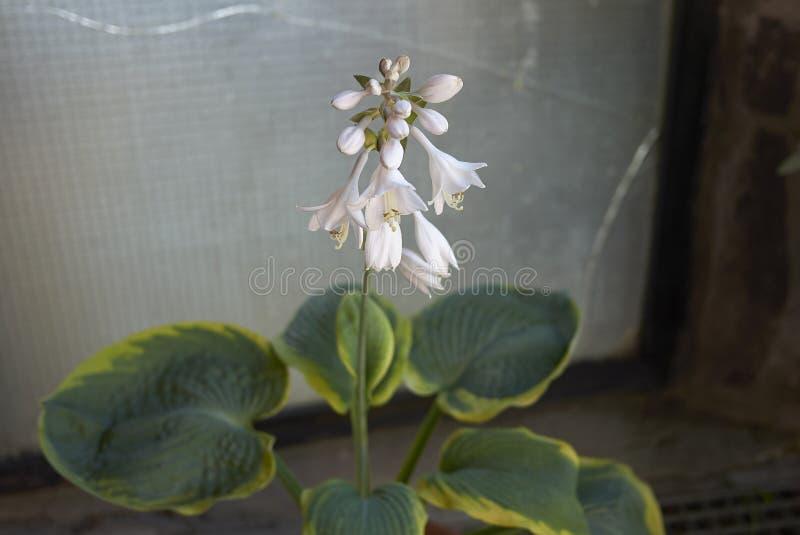 Witte bloemen van hosta stock afbeelding