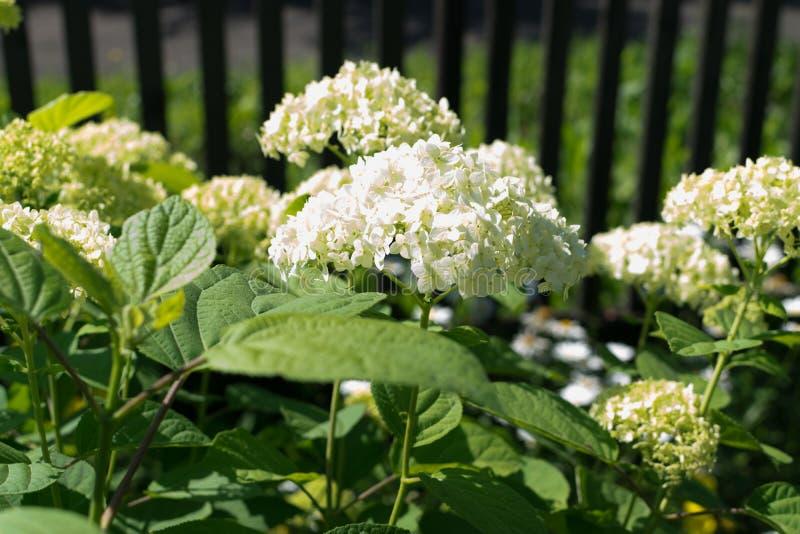 Witte bloemen van hydrangea of hortensia closeup royalty-vrije stock afbeeldingen