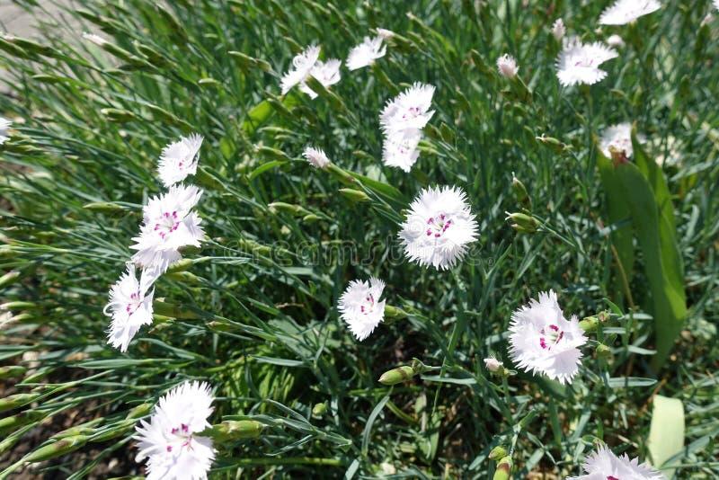 Witte bloemen van roze in Mei stock afbeeldingen
