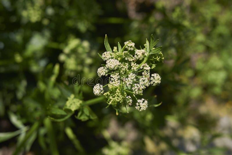 Witte bloemen van selderie stock fotografie