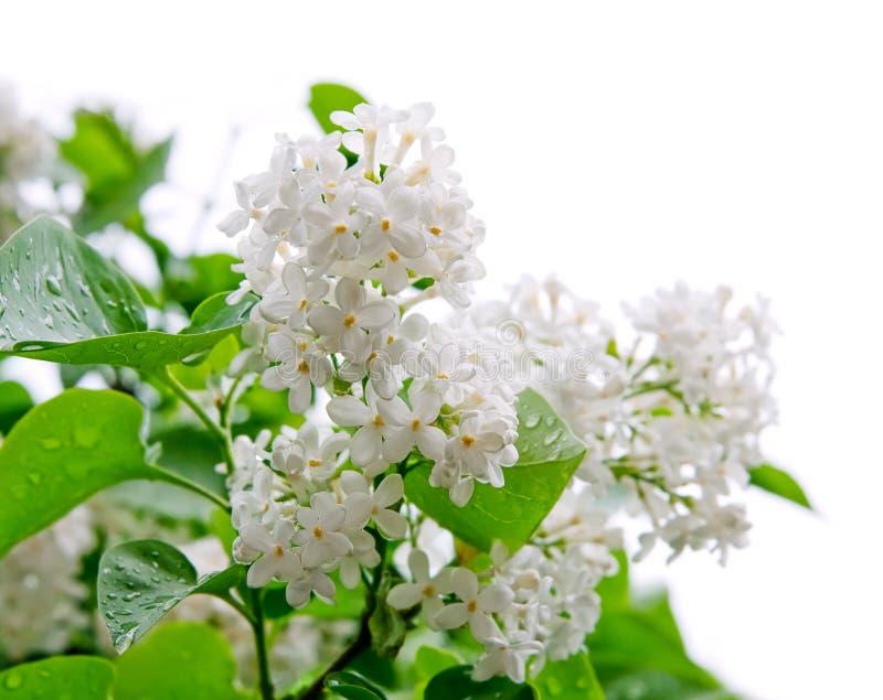Witte bloemen van sering stock foto