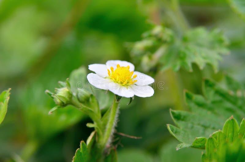 Witte bloemen van wilde aardbei in het bos in de zomer royalty-vrije stock foto's