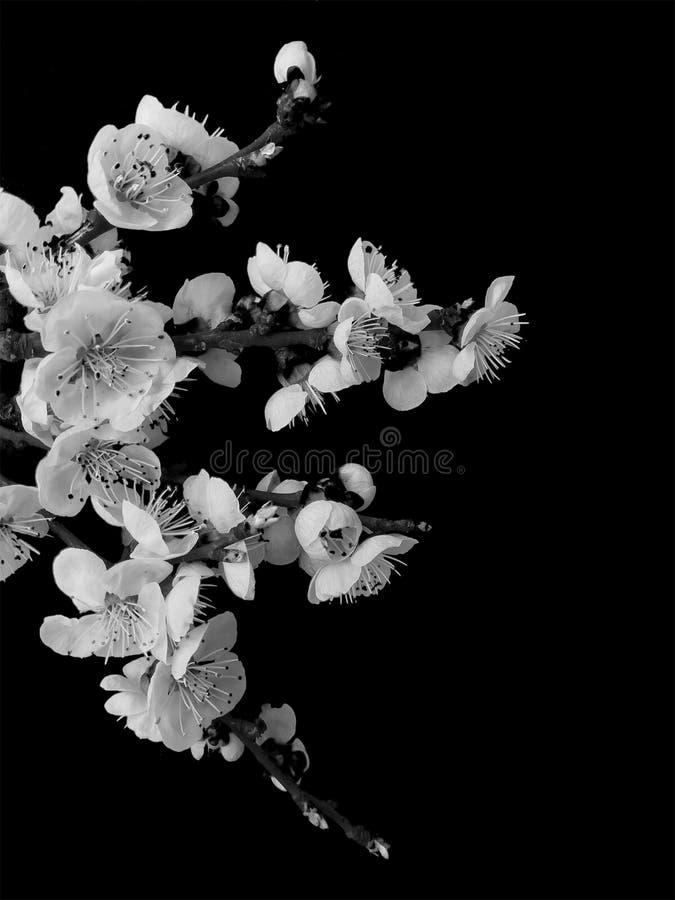 Witte bloemenabrikozen op een zwarte achtergrond royalty-vrije stock afbeelding