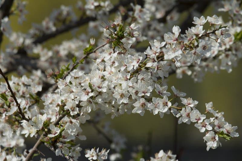 Witte bloemenbloesem royalty-vrije stock fotografie
