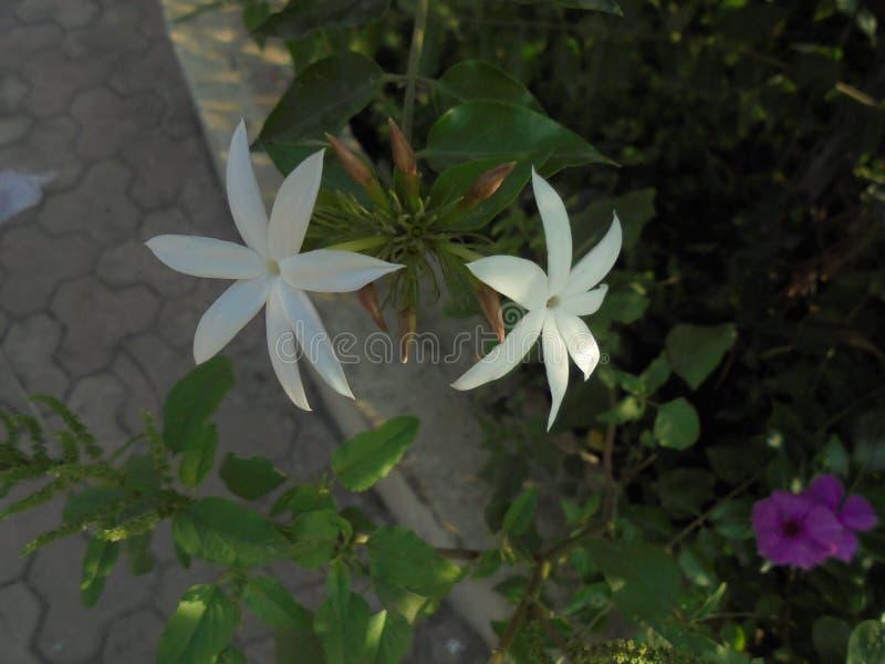 Witte bloeminstallatie royalty-vrije stock afbeelding
